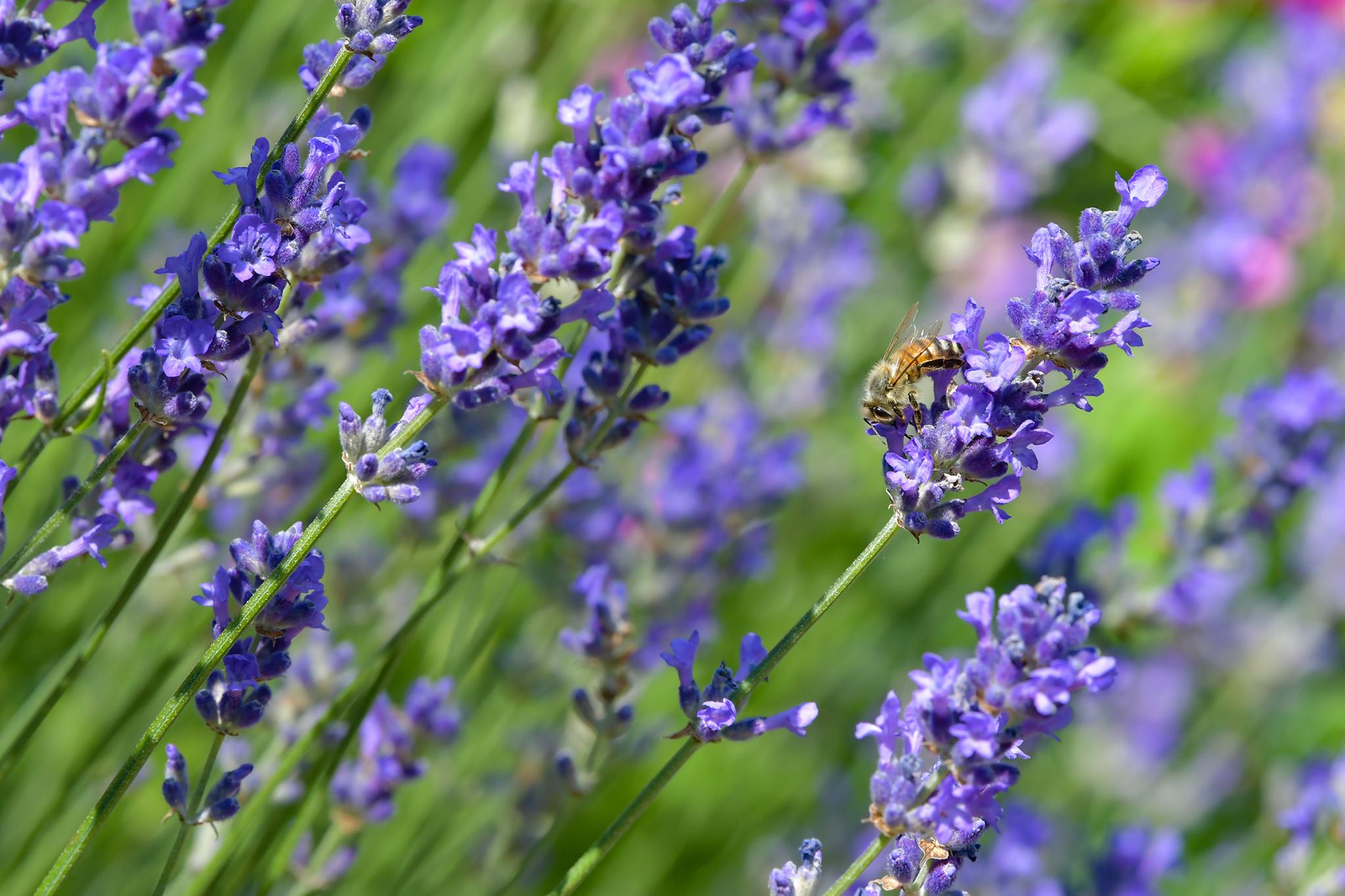 Lavendel-Zeit